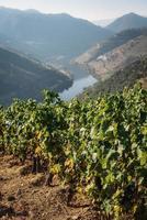 vinhas no vale do douro, portugal