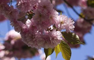 close-up de flores de cerejeira rosa