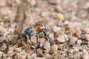 abelha no chão