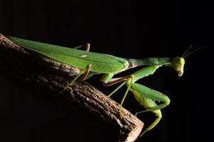 mantis verde em um galho