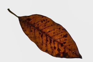 folha seca em fundo branco foto