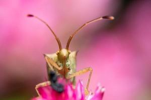 insetos assassinos marrons em uma flor foto