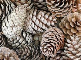 textura de pinhas