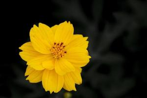 feche o fundo da flor do cosmos amarelo.