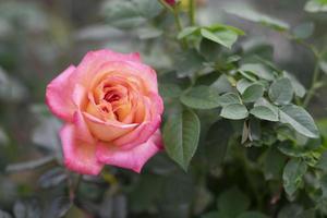 feche rosas cor de rosa no jardim. fundo do dia dos namorados