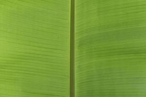 folhas verdes frescas de banana para segundo plano. foto