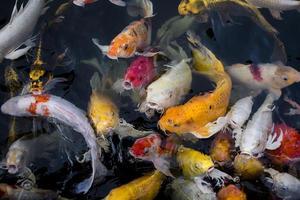 peixes koi em um lago