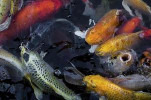 close-up de peixes koi