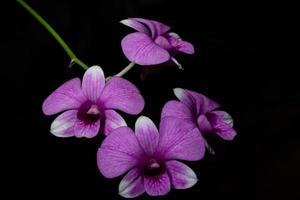 close up de orquídea rosa