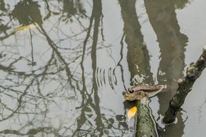 mudskipper na água foto