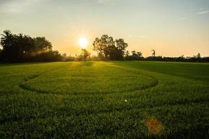 campo de arroz ao amanhecer foto