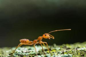 formiga vermelha em uma árvore foto