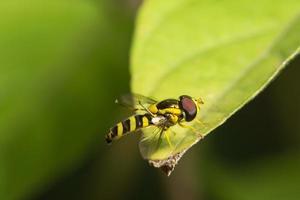 abelha na folha