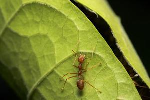 formiga vermelha em uma folha foto