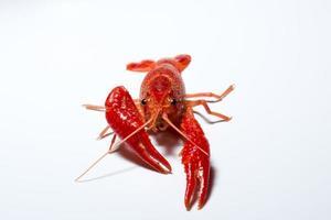 lagosta em fundo branco foto