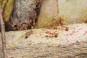 formigas vermelhas em uma árvore foto