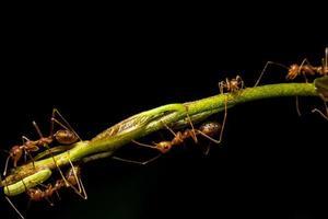 formigas vermelhas em uma folha foto