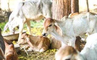 vacas em um campo fora