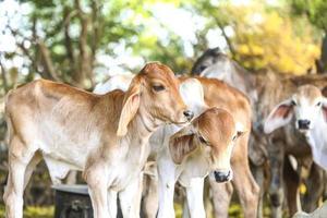 vacas bebê
