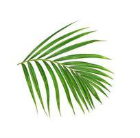 folha verde de palmeira em fundo branco foto