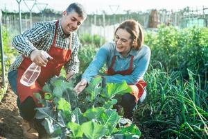 casal de agricultores sorridentes regando uma plantação de brócolis com um aspersor em um campo orgânico