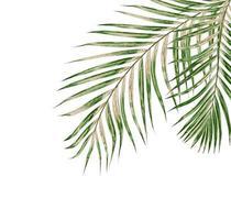 folhas de palmeira em fundo branco