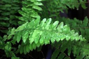 samambaia verde como pano de fundo, close-up.
