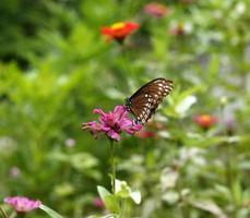 borboleta em uma flor rosa foto