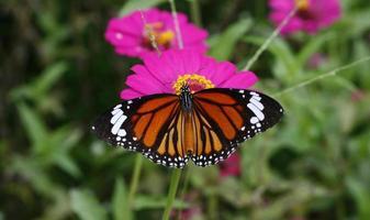 borboleta em um girassol mexicano