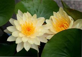 um belo nenúfar ou flor de lótus no lago foto