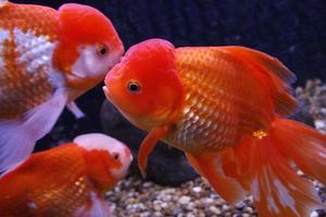 closeup de peixinho dourado no fundo da água foto