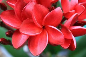 flor de frangipani ou flor leelawadee foto