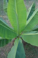 vista de cima da bananeira