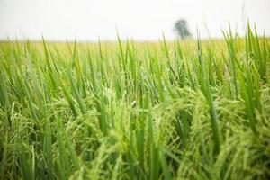 campo de arroz na tailândia foto