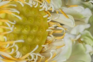 flor de lótus close-up