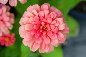 flor rosa zinnia foto