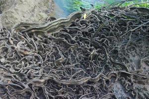 close-up de raízes de árvores na floresta foto