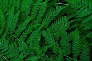 floresta de samambaias samambaias