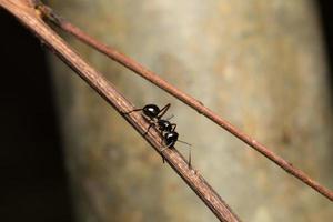 formiga preta em um galho foto