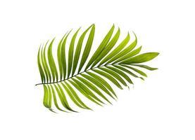 folha de palmeira foto