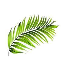 folha de palmeira verde