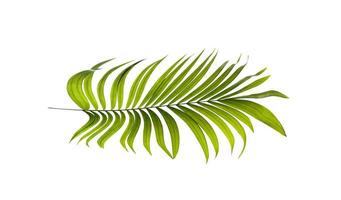 folha de coco isolada foto