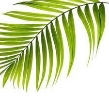 folha de palmeira verde brilhante curva