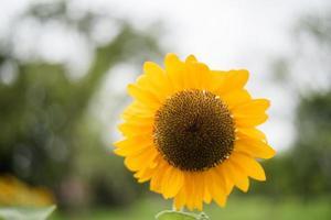 close-up de um girassol florescendo em um campo com fundo borrado da natureza