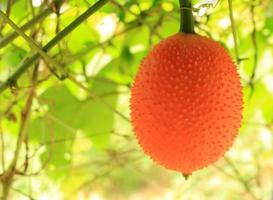 cabaça de laranja na árvore foto