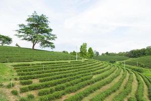 fazenda de chá na tailândia