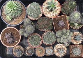 grupo de cactos em vasos foto