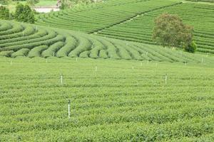 fazenda de chá na tailândia foto