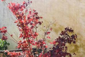 árvore com folhas vermelhas contra parede cinza foto