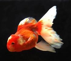 close-up de peixinho dourado foto